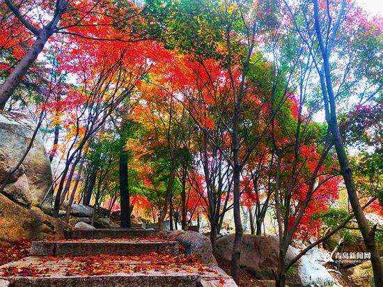 冷空气渐渐将树叶染红,红叶在绿叶的衬托下,更加明艳。