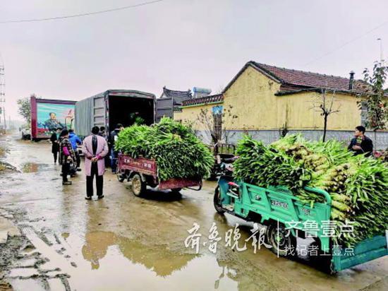 8日,在莱芜市羊里镇玄王石村,菜农们将冒雨收好的莴苣装上了爱心企业的货车。