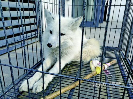 被关在笼子里的白狐。