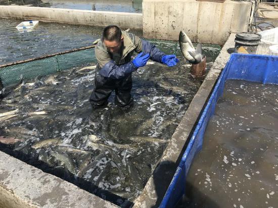 滨州安柴活鱼批发市场,商户正在选鱼。