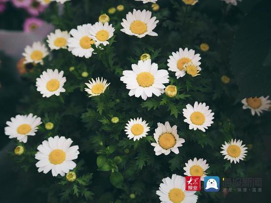 三八节将至 青岛的玫瑰价格涨1倍 康乃馨涨2倍