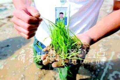 5月份海水稻研发试验基地已完成播种工作,11月份将收获。(资料图)