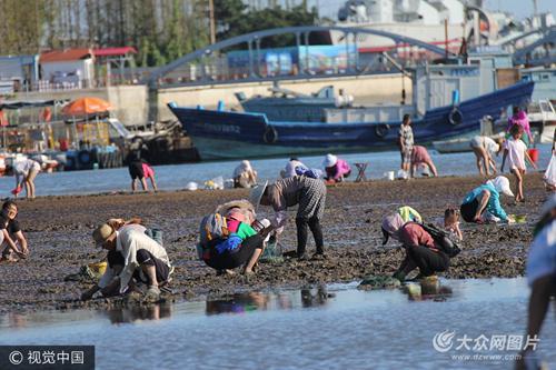 市民栈桥海滩挖蛤蜊