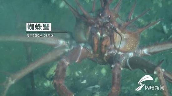 (蜘蛛蟹:海下2000米冷泉区。)