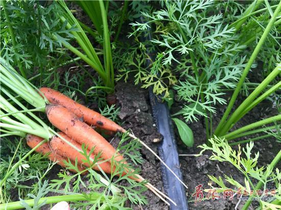 采用滴灌水肥一体化技术的胡萝卜地。