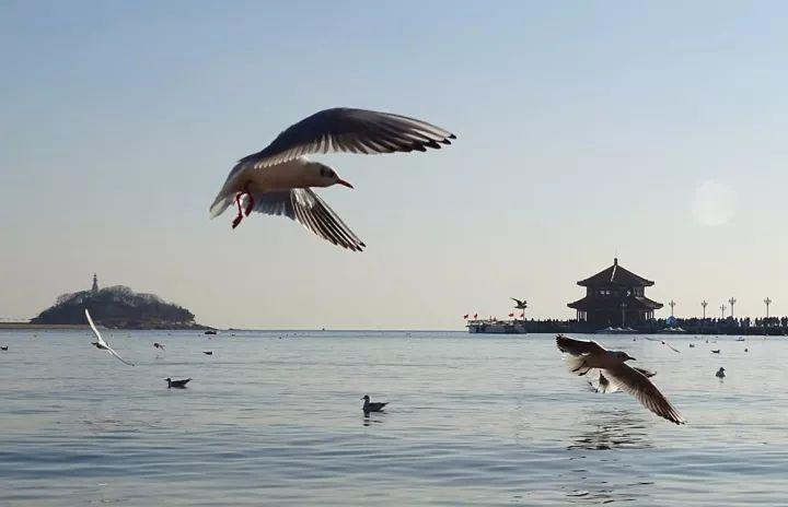 老朋友你好 青岛栈桥迎第一批过冬海鸥