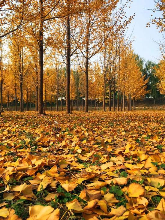 """济南这片最美的小树林 被""""踩秃""""了"""