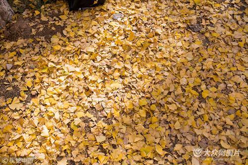 金黄的叶子和蓝天呼应,放佛一幅幅精美的画作。