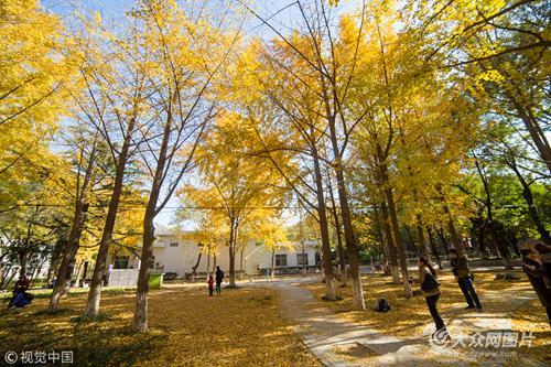 秋日的山东大学趵突泉校区,树叶金黄,铺满一地。