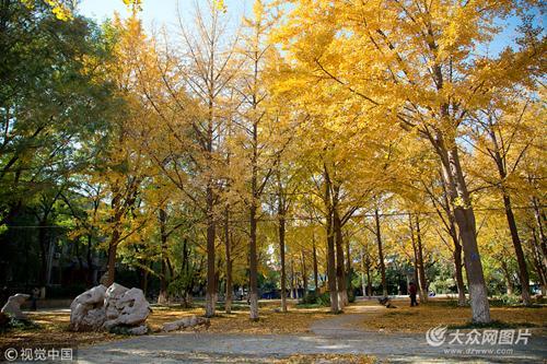 山大校园遍地金黄