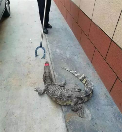 家门口发现鳄鱼,踢了几下发现是活的