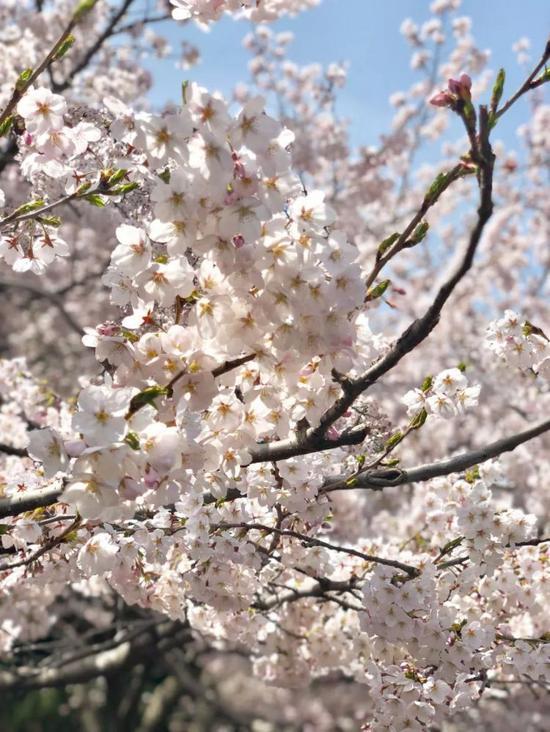 中山公园的樱花都开好啦~