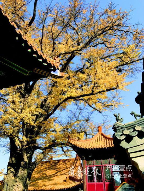 历城区淌豆寺的千年古银杏。