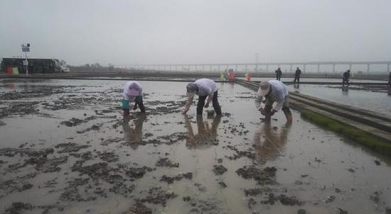 到底什么是海水稻?海水稻能在这些地方种植,你绝对想不到!