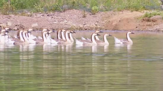 △在园中王圈水库边的一处密林里,一群大雁正在嬉戏觅食