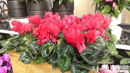 百余种温泉花卉亮相泉城公园 有的花期长达半年