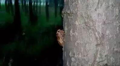 刚从洞里出来的知了猴!