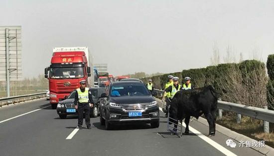 担心牛再次对来往车辆或者民警进行攻击,