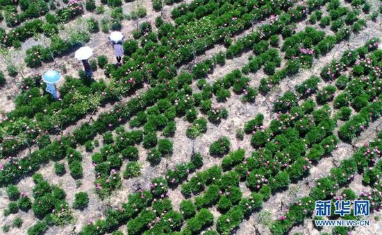 游人在山东青岛市即墨区俞家屯村药用芍药种植基地里赏花(无人机拍摄)。