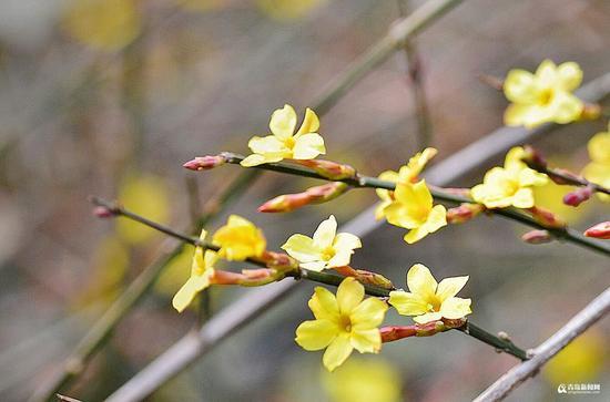 世纪公园的迎春花最近几天逐渐开放