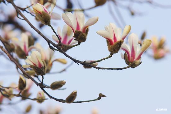 最近几天玉兰也加入了初春开花套餐(逄淑才 摄)