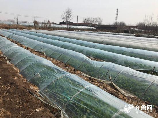 卷心菜亩产七八千斤 有收购商上门收购