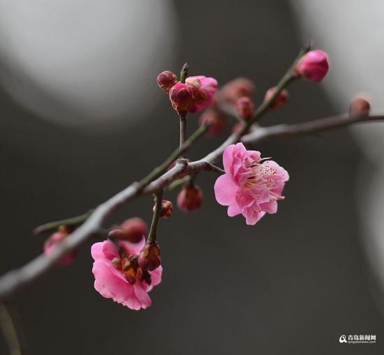 中山公园,初绽的杏梅以粉红身姿抢镜(郝明先摄)
