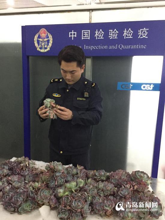 青岛空港口岸截获200余株蓝粉台阁