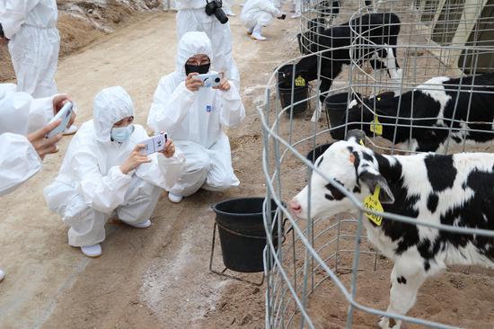 图为:媒体采访团与犊牛岛小牛互动