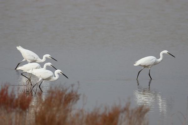 青岛胶州湾畔:金秋时节 水鸟芭蕾闹潟湖