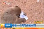 游客手機掉落猴山 猴子撿到后不停把玩