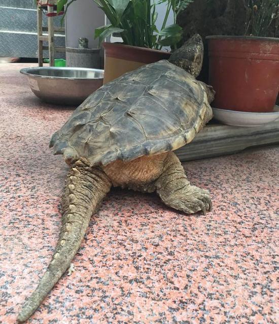 边捉到16斤重乌龟 疑似鳄龟性情凶猛图片
