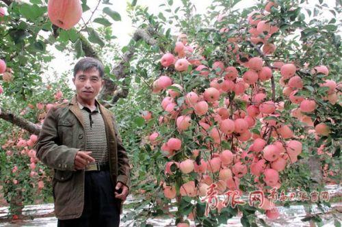 青岛一棵老苹果树结了211个苹果_新浪山东_新浪网