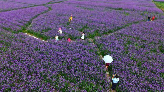 衣少女徜徉紫色花海 山东 鲜花小镇 上演浪漫大片