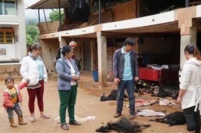 村里110只羊被野生动物攻击 村民获12.44万保险赔偿