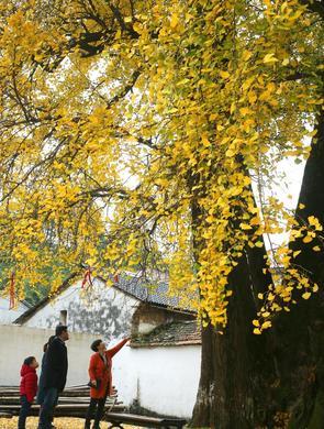 千年银杏迎客来 满地都是黄金叶
