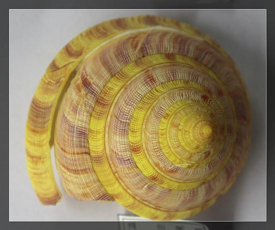龙宫翁戎螺,采自台湾东北部,水深200-300米