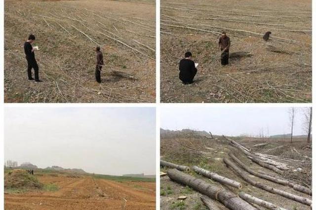 山东一村支书毁林被捕 带人强行砍伐7000多棵杨树