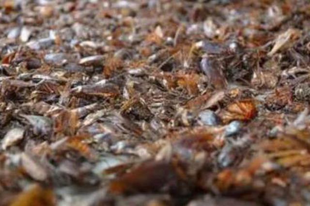 """章丘这个地方有3亿只蟑螂 每天""""吃掉""""15吨餐厨垃圾"""