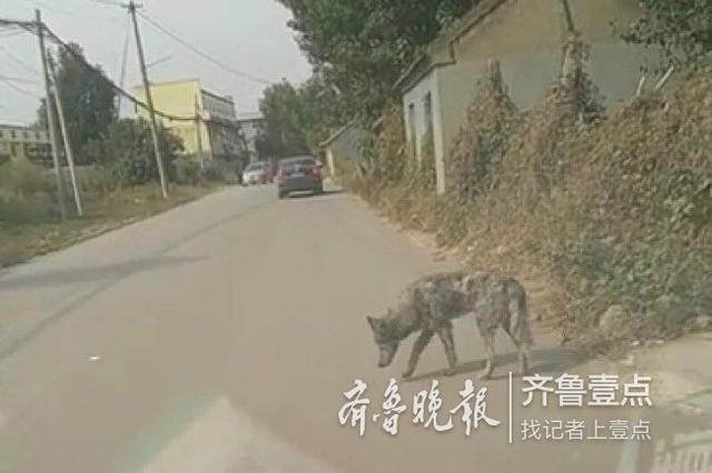 """济南陡沟一村民疑发现""""狼"""" 专家:体型像狼但神情不"""