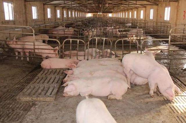农业农村部:山东省济南市莱芜区发生非洲猪瘟疫情