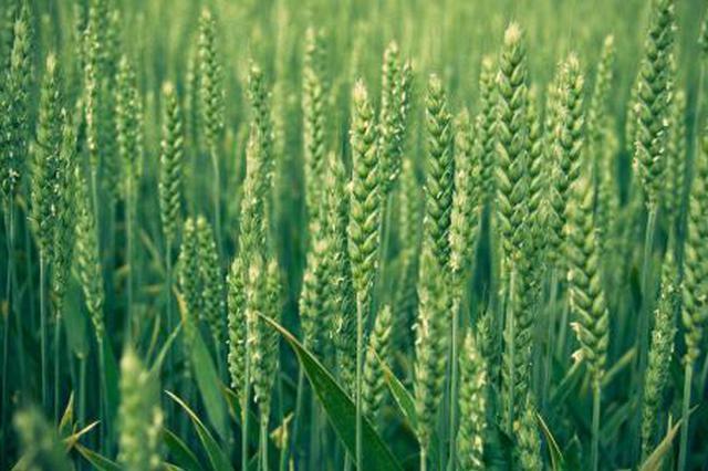 山东:小麦进入抽穗期 气温波动大需注意病虫害