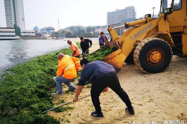 """烟台海水浴场变""""草场"""" 市城管局加派人手清理海菜"""