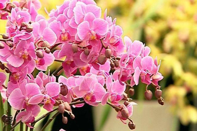 有花才叫过年 济南年宵花热销 家有老人孩子慎买这些花