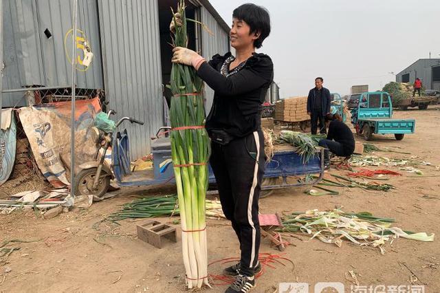 探访上了热搜的章丘大葱原产地 农户喜笑颜开