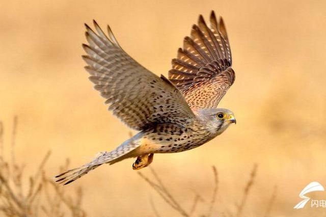 """济南:天上飞来一只""""鹰"""" 经鉴定:是比利时的国鸟"""