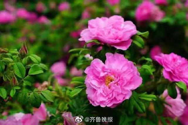 """玫瑰增选为市花 济南进入""""荷谐玫好""""双市花时代"""