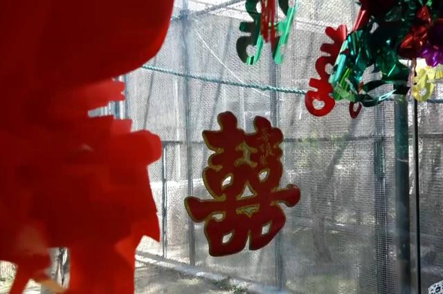 """济南动物园发喜糖咯  一对白颊长臂猿""""喜结连理"""""""