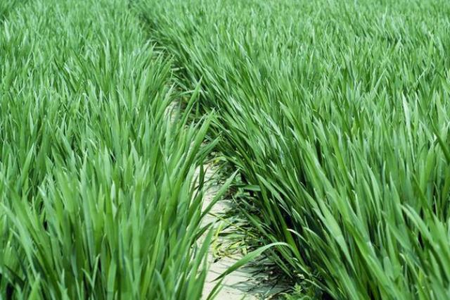 山东全省推广小麦减垄增地种植技术