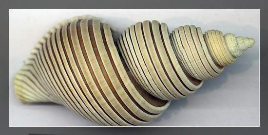 越南绳纹峨螺,采自南海东沙群岛,水深300-400米